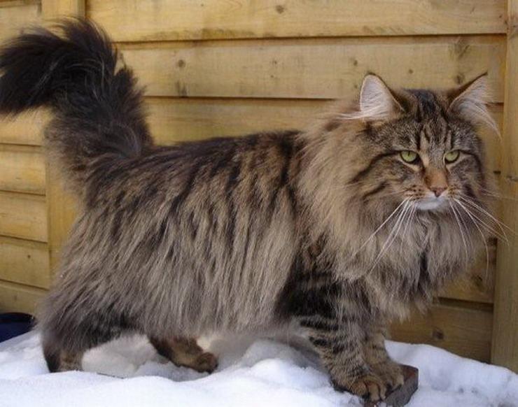 Norwegische Waldkatze