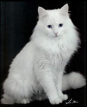 Laperm Cat Club Uk